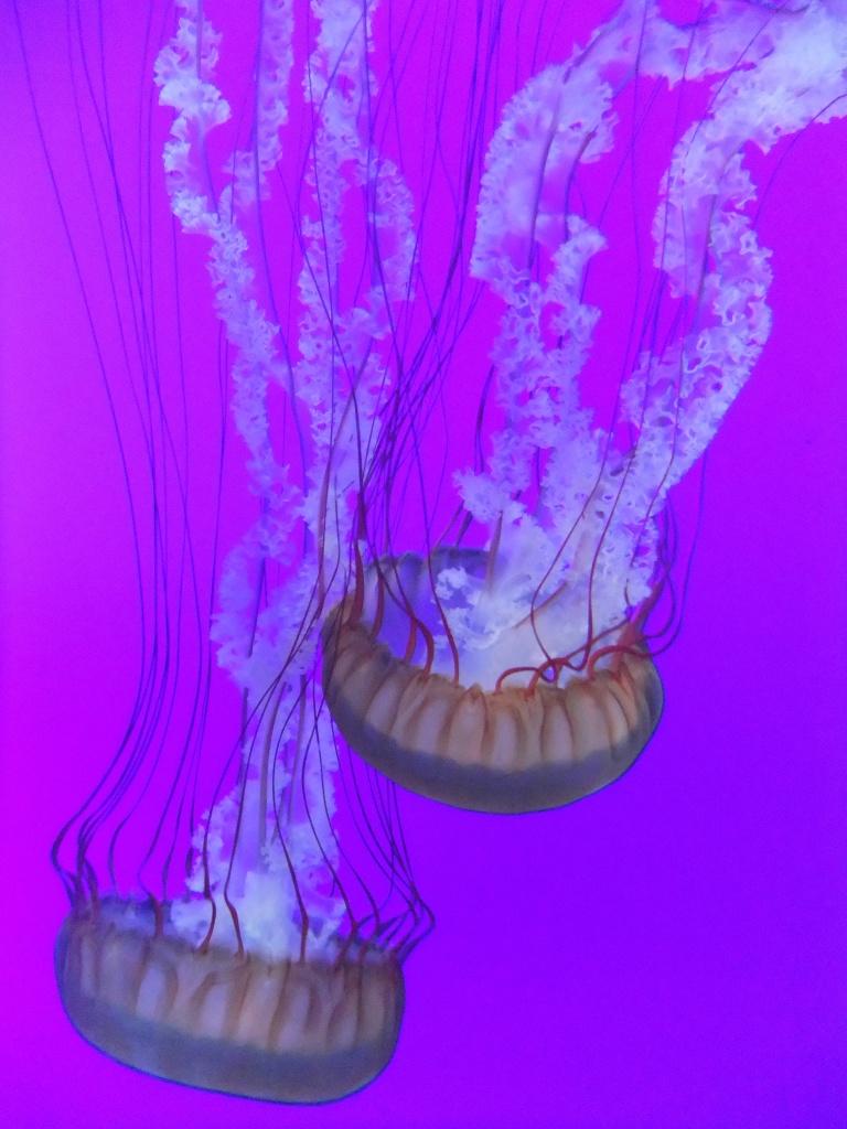 Jellyfish Pacific Sea Nettle Ripley's Aquarium