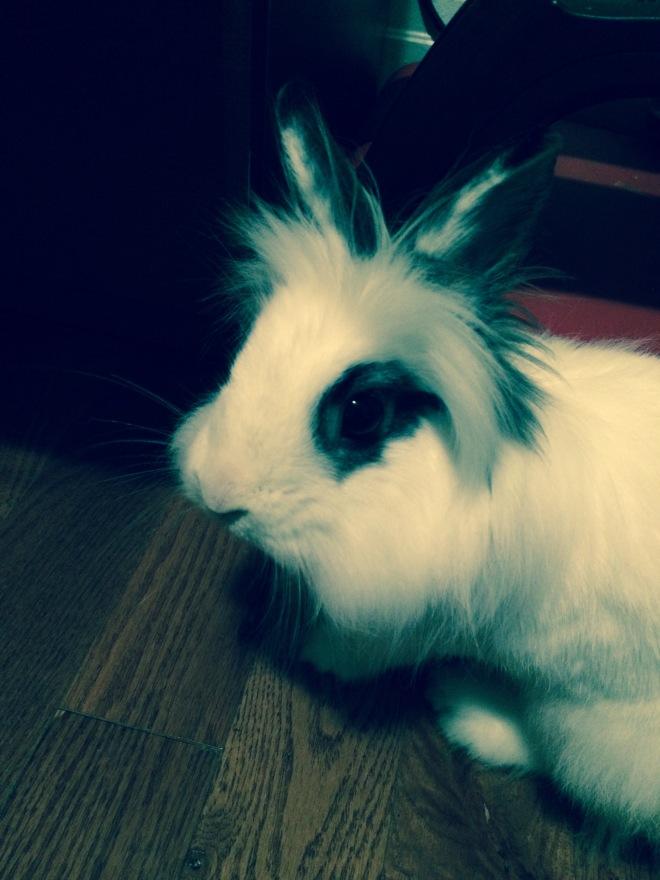 elsie dwarf lionhead bunny