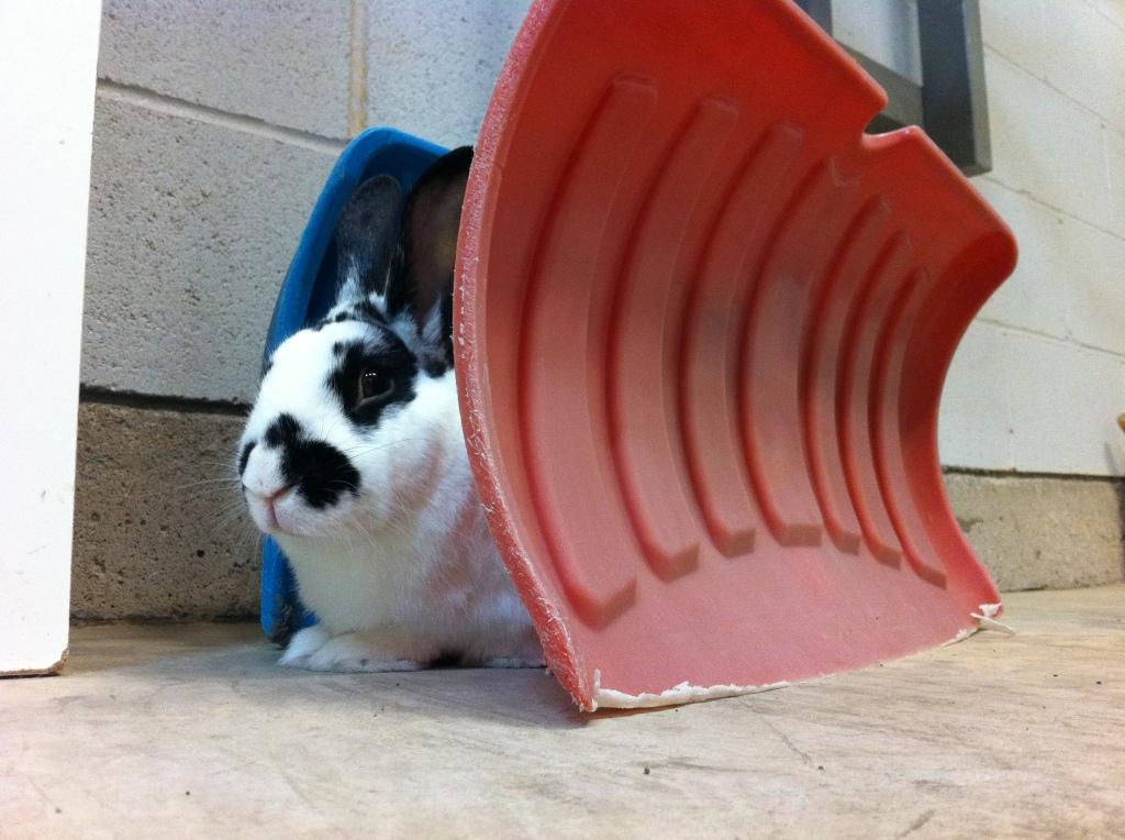 Rory rabbit shovels